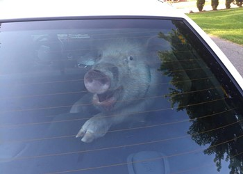 Pig perp taken into custody by Shelby Township police