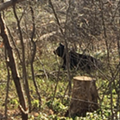 Michigan black bear shakes off long winter with romp through residential area