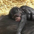Baby chimp born at Detroit Zoo on first-ever World Chimpanzee Day