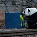 Wise panda chews on box, predicts U-M will be Chick-fil-A Peach Bowl winner