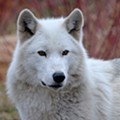 Detroit Zoo says goodbye to beloved gray wolf, Wazi: 'We are heartbroken'