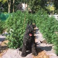 Bob Darden's dogTwister with Darden's first CBD crop.