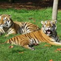 Detroit Zoo ramps up precautionary measures for its big cats after Bronx Zoo tiger diagnosed with coronavirus