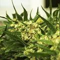 Change in rules could derail Michigan marijuana legalization effort