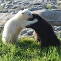 Grizzly and polar bear cubs are now best buds at the Detroit Zoo