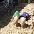 Piglet racing cut from Ferndale, Royal Oak BBQ festivals following pressure from animal rights activists