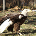 Detroit Zoo welcomes Mr. America, a one-winged bald eagle