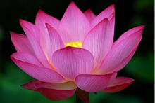 9926c8b8_purple_lotus.png