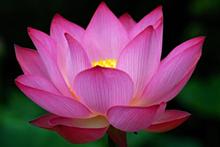 3d38748e_purple_lotus.png