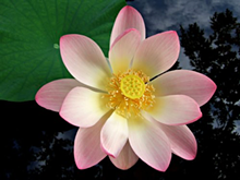 9ad62c15_light_pink_lotus.png