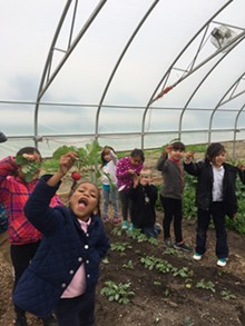 COURTESY PHOTO - DPS students pick radishes insides one of the district's hoop houses.