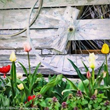 a78e8c30_wheels_tulips-.jpg