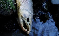 PHOTO COURTESY OF BOB PAGLIUCO - A coho salmon carcass observed during a spawner survey, in which dead adult fish and salmon nests, or redds, are assessed.