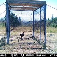 Fixing the World A turkey vulture in the Bald Hills trap, enjoying lunch. Photo courtesy the Yurok Tribe field camera.