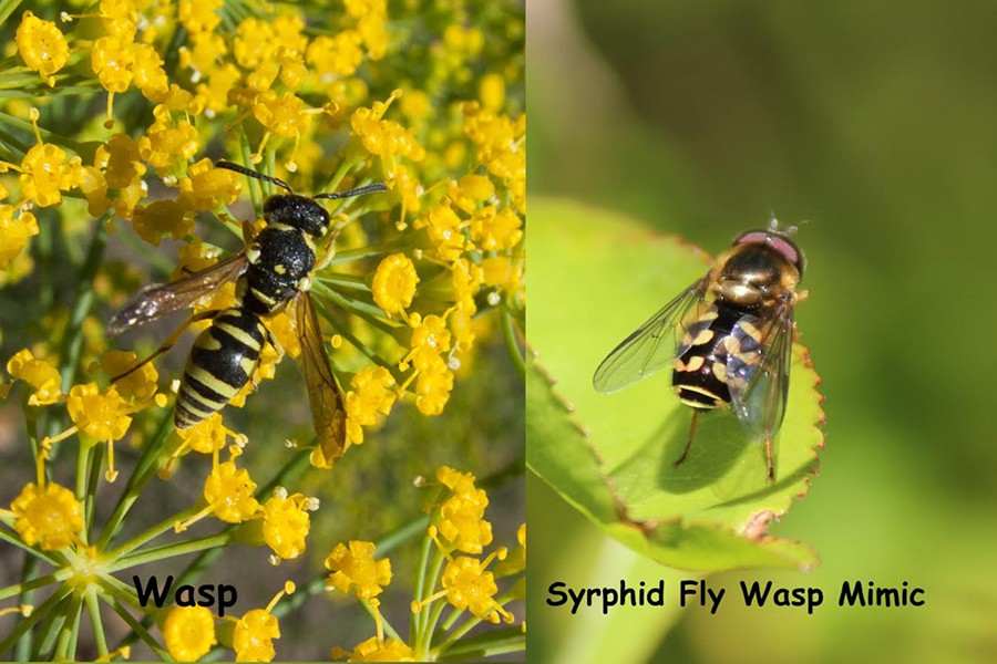 A wasp and the fly in wasp's clothing - ANTHONY WESTKAMPER