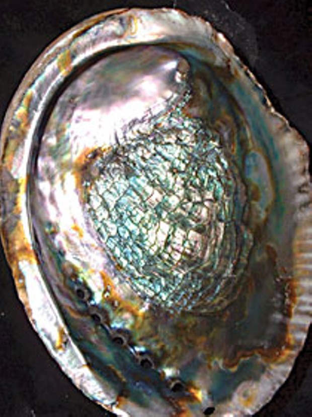 Abalone shell. Photo by flickr user SingingFish.