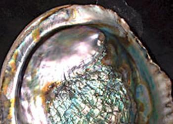 Abalone, anyone?