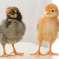 Chicken-O-Rama!