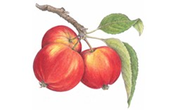 ILLUSTRATION BY PEGGY IRVINE - Albert Etter's Amber Apple
