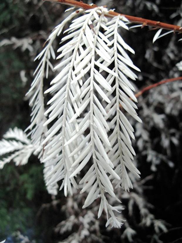 Albino Redwood - CREATIVE COMMONS