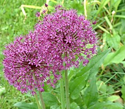 Allium. Photo by Flickr.com user mymindisgoing.
