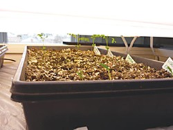 Amy's seedlings