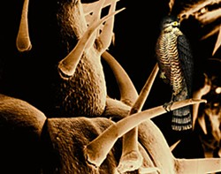 """Arcata Marsh Magnified: Sparrow Hawk in Summer,"" photo collage / archival pigment print by Ellen Land-Weber."