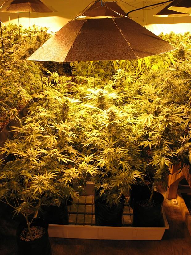Arcata medical marijuana grow - PHOTO BY BOB DORAN