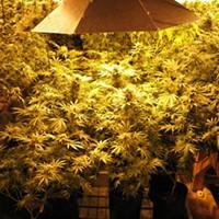 Arcata medical marijuana grow