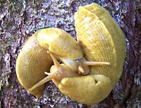Ariolimax californicus. Photo by Don Garlick