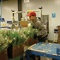 Roads and Redwoods At the Sun Valley Factory in Arcata: packing bouquets.