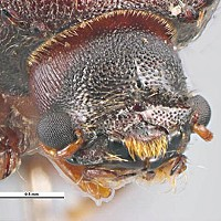 Invasion of the Auger! Auger beetle specimen found in India in wooden pallets. Scale: 0.5mm. Photo by Ken Walker, Museum Victoria, courtesy of Plant Health Australia