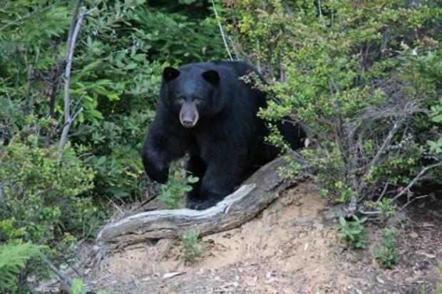 laurens-bear-gimped.jpg
