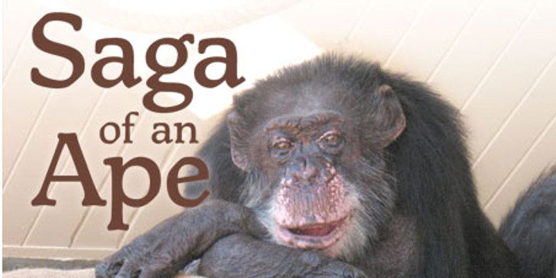 Saga of an Ape — The surprising true story of the late Bill the Chimp Bill during his last days. Photo by Gretchen Ziegler.