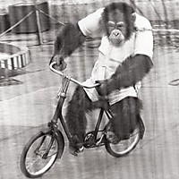 Saga of an Ape — The surprising true story of the late Bill the Chimp Bill on a bike. Humboldt Standard, 1957