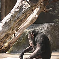 Saga of an Ape — The surprising true story of the late Bill the Chimp Bill painting, one of his favorite pastimes. Photo by Jan Roletto.