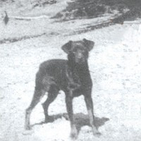 """Boomer Jack"" N.W.P. Mascot, c. 1916. Photo from Lincoln Kilian's ""A Dog's Life,"" courtesy of Robert Brantley to the author."