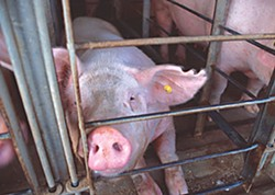 Breeding sow in a gestation crate. Photo courtesy of Humane Society of the United States