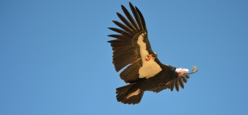 California condor - PHOTO COURTESY U.S. FISH AND WILDLIFE SERVICE