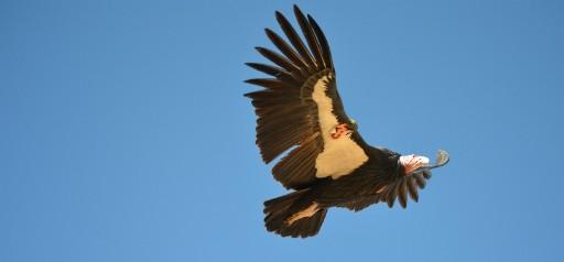 California condor - PHOTO COURTESY U.S. FISH AND WILDLIFE SERVICE