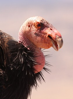 CHRIS WEST - California Condor