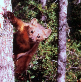 Humboldt marten - PHOTO COURTESY OF THE U.S. FISH AND WILDLIFE SERVICE