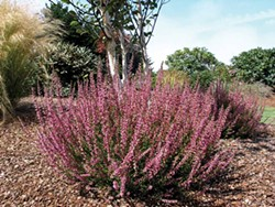 PHOTO BY DON WALLACE OF SINGING TREE GARDENS NURSERY. - Calluna 'Roswitha.' a bud-blooming Scotch heather for late-season interest.