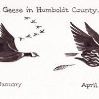 Aleutian Geese in Humboldt County...