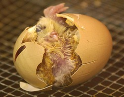 PHOTO BY GRENDELKHAN, - Chicken hatching from egg. Whichever came first, it wasn't nothing.