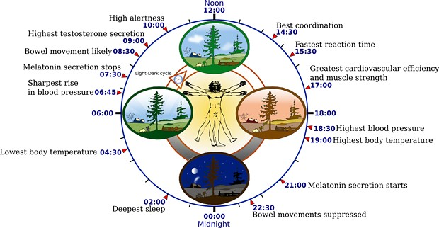 Contemporary human biological clock, as modulated by artificial light, according to data in The Body Clock Guide to Better Health. - YASSINE MRABET