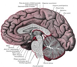 1918 GRAY'S ANATOMY - Corpus callosum, the nerve bundle linking the brain's right and left hemispheres, is the light gray structure in the middle of the diagram.