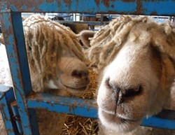 PHOTO BY BOB DORAN - Cotswold sheep at the Humboldt County Fair