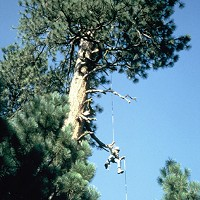 The Biocrat Detrich in 1983, rappelling out of a bald eagle nest tree in Shast County. Photo by Ron Jackman.