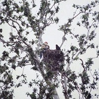 The Biocrat Detrich in 1984, capturing a nestling bald eagle in Shasta County for a reintroduction program on Santa Catalina Island. Photo Courtesy California Dept. of Fish and Game.